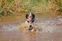 Hund i vatten med bollen Arkivbilder