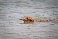 Hund i vattnet med en pinne Arkivfoton