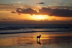 Hund i vattnet på solnedgången Arkivfoto