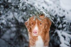 Hund i vinter utomhus, Nova Scotia Duck Tolling Retriever, i skogen royaltyfria bilder