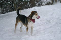 Hund i vintertid Royaltyfri Bild