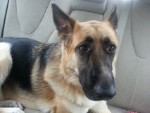 Hund im Auto Stockbilder