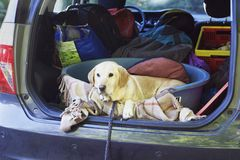 Hund im Auto Stockfoto