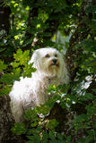 Hund im Baum. A small white dog sitting in a tree and looking through the leaves Royalty Free Stock Photo