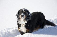 Hund im Erscheinen. Bernese. Lizenzfreies Stockbild