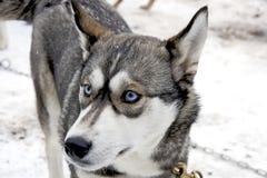 Hund im Erscheinen. Heiser Stockfotografie