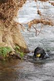 Hund im Fluss mit Kugel Lizenzfreies Stockfoto