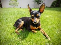 Hund im grünen Gras lizenzfreie stockbilder