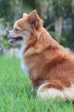 Hund im Gras Stockfotografie