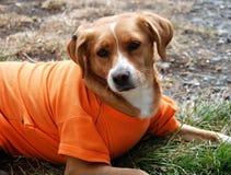 Hund im Hemd Stockbild