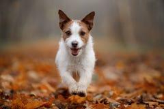 Hund im Herbstlaub, der in den Park läuft Lustiger und netter Jack Russell Terrier lizenzfreies stockfoto