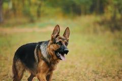 Hund im Herbstwald Stockbild