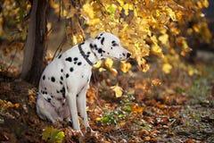 Hund im Herbstweinberg Lizenzfreie Stockfotografie