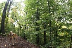 Hund im Holz Stockfotografie