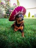 Hund im Hut stockbild