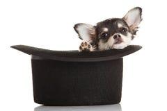 Hund im Hut lokalisiert auf weißem Hintergrund Stockfoto