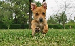 Hund im Lack-Läufer Stockfotografie