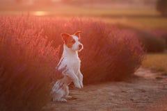 Hund im Lavendel Jack Russell Terrier in den Blumen Lizenzfreie Stockfotos