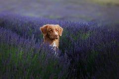 Hund im Lavendel Nova Scotia-Ente läutender Retriever in den Blumen Lizenzfreie Stockfotografie