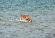 Hund im Meer Stockfoto