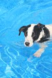 Hund im Pool Lizenzfreie Stockfotos