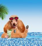 Hund im Pool Stockfotos