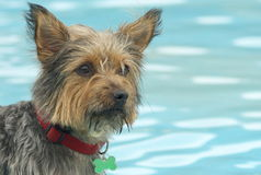 Hund im Pool Stockbild