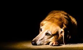 Hund im Scheinwerfer lizenzfreies stockbild