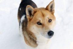 Hund im Schnee anstarrend entlang der Kamera Stockfotografie