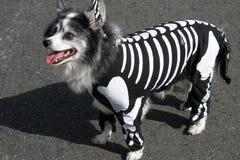 Hund im skeleton Kostüm Stockbild