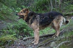 Hund im Wald Lizenzfreie Stockfotos