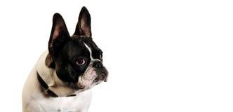 Hund im weißen Hintergrund lizenzfreie stockbilder