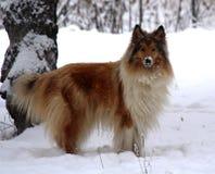 Hund im Winterschnee Stockfotos
