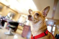 Hund inom en skönhetsalong Royaltyfri Fotografi