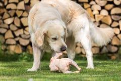 Hund isst ein Huhn Stockbilder