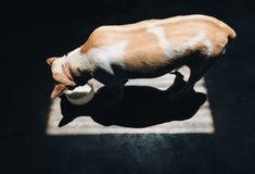 Hund isst Lebensmittel stockfoto