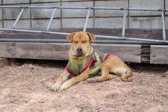 Hund ist, entspannend sitzend und auf dem Boden stockfotografie