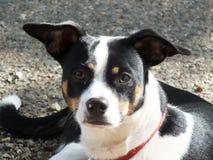 Hund Jack-Russel Stockbild