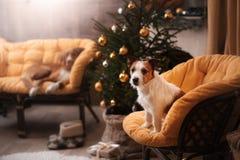 Hund Jack Russel Weihnachtsjahreszeit 2017, neues Jahr Lizenzfreie Stockfotos