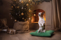 Hund Jack Russel Weihnachtsjahreszeit 2017, neues Jahr Lizenzfreies Stockfoto