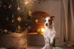 Hund Jack Russel Weihnachtsjahreszeit 2017, neues Jahr Stockfotos