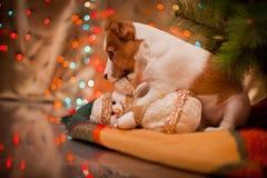 Hund Jack Russel Welpe Weihnachten, Stockbild