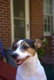 Hund Jack-Russell Lizenzfreies Stockbild