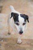 Hund Jack-Russell Lizenzfreie Stockfotografie