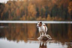 Hund Jack Russell Terrier auf dem See lizenzfreie stockfotos