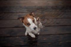 Hund Jack Russell Terrier auf einem Bretterboden stockfotografie