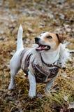 Hund Jack Russell Terrier i laget som ser upp En hund med ett leende fotografering för bildbyråer