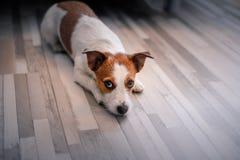 Hund Jack Russell Terrier legt auf den Boden lizenzfreie stockfotos