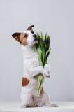 Hund Jack Russell Terrier med blommor Arkivbilder