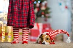 Hund Jack Russell Terrier och ben av lite flickan i röd vit arkivbild
